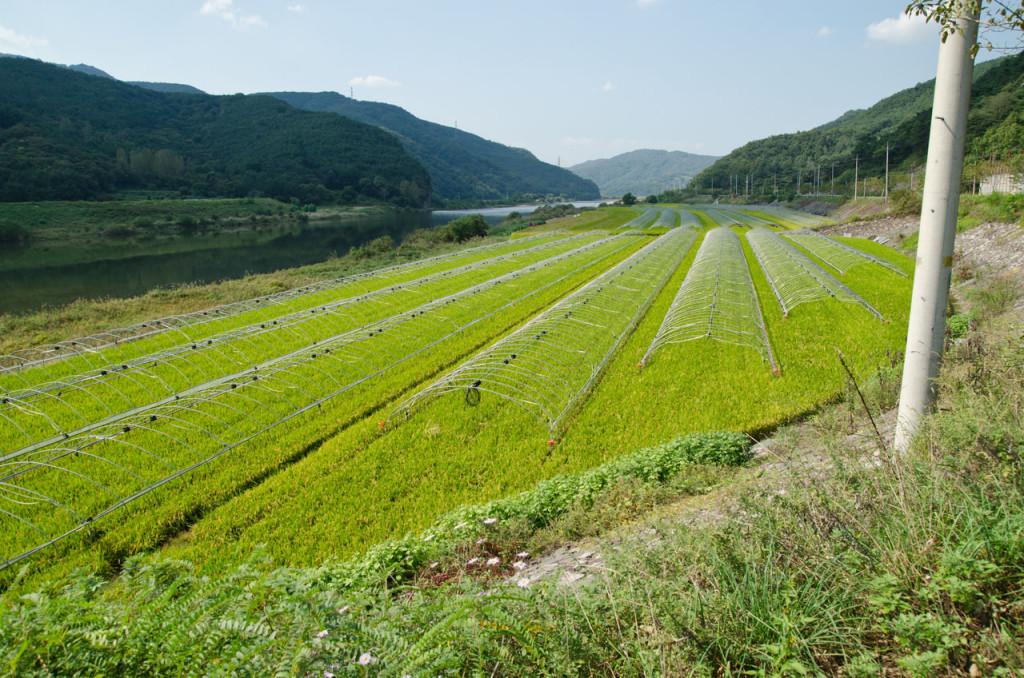 goryeong-gun-rice-DSC_9394