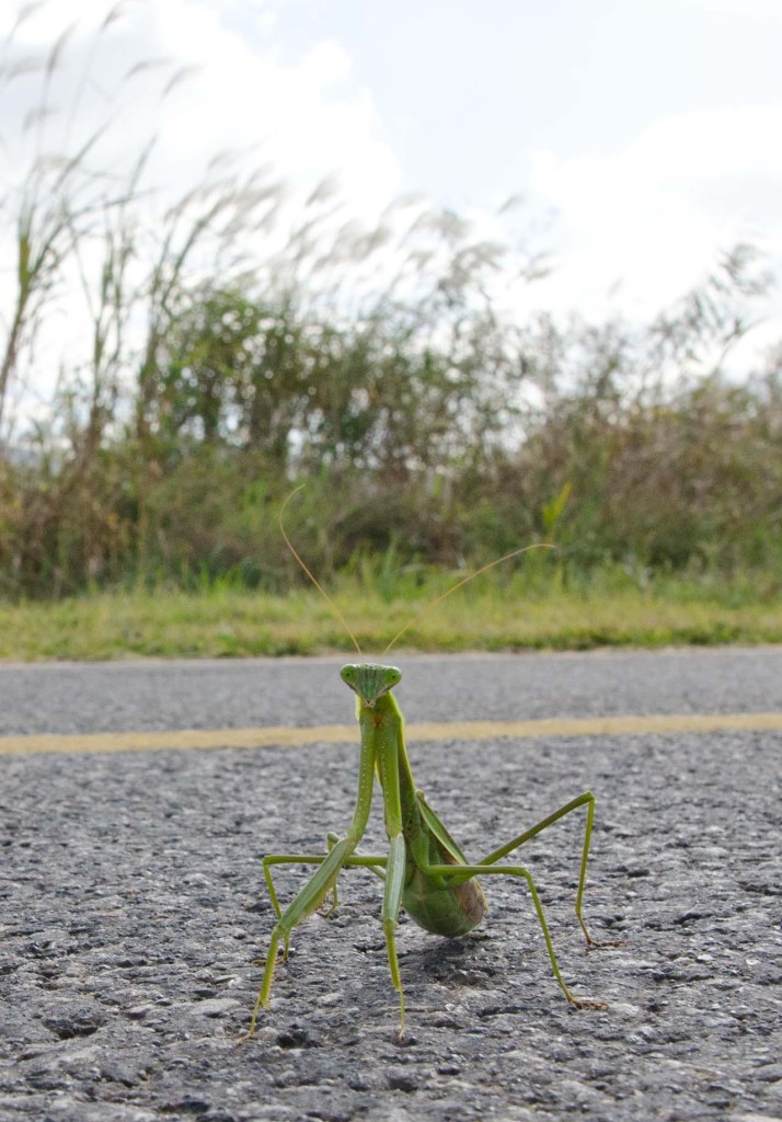 prayingmantis-DSC_0652