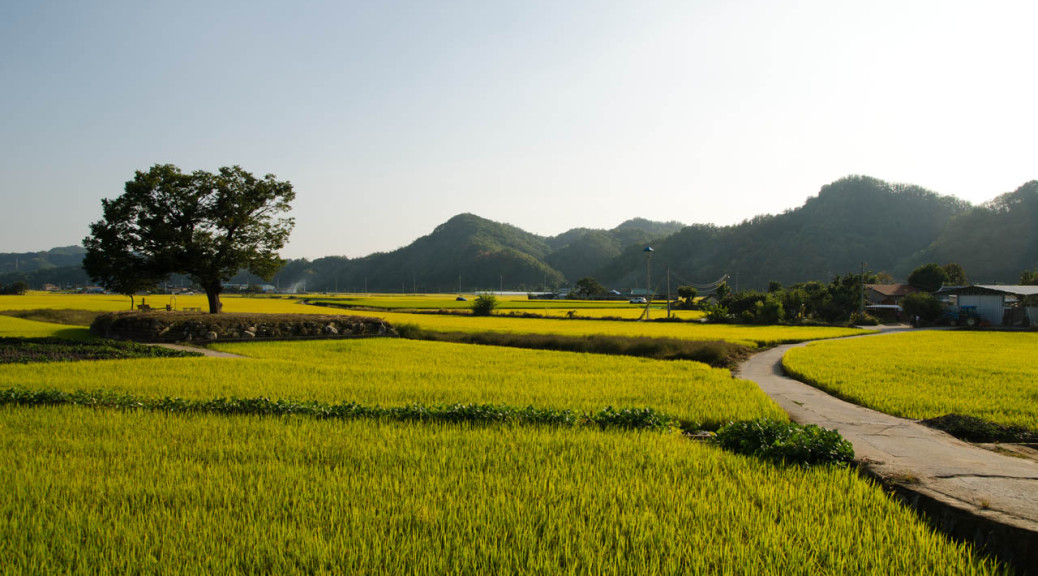 tree-road-rice-DSC_9144