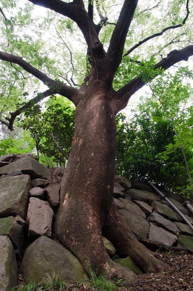 wall-tree-DSC_4736
