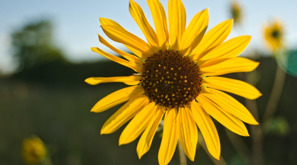 sunflower_DSC5087