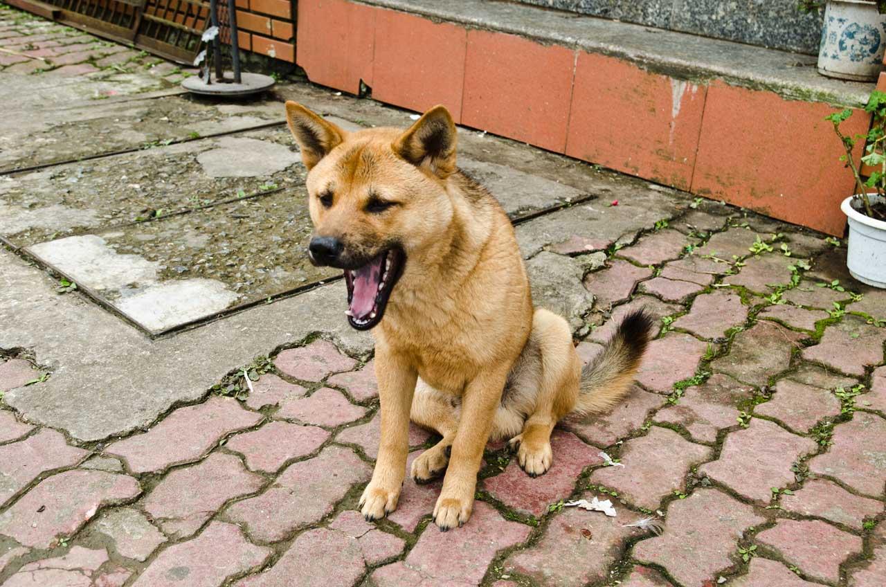 dog-sapa-DSC_3474