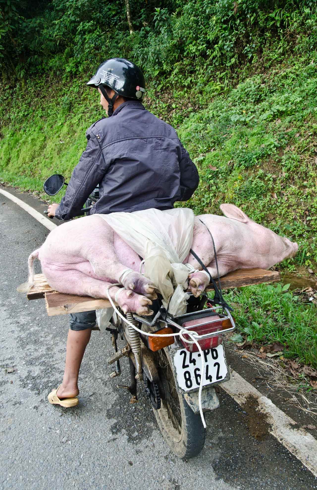 pig-DSC_3491